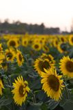 Bright Yellow Sunflower in Field Stock Photo