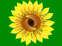 Bright Sunflower flower green background closeup Royalty Free Stock Images