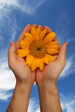 Bright sunflower fresh sky Royalty Free Stock Photo