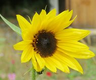 Bright sunflower. In a garden Stock Photo