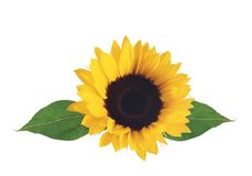 Bright sunflower isolated on white Stock Photography