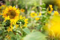 Bright sunflower of nature Royalty Free Stock Photography