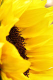Bright sunflower petals close up on a light background. Sunflowers radiant warmth with a light background. Sunflowers close up are the happiest of all flowers Royalty Free Stock Photo