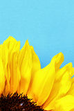 Bright sunflower petals close up on a light blue background. Sunflowers radiant warmth with a light blue background. Sunflowers close up are the happiest of all Stock Photos