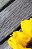 Bright sunflower petals close up on a wooden background. Sunflowers radiant warmth with a wooden background. Sunflowers close up are the happiest of all flowers Royalty Free Stock Photo