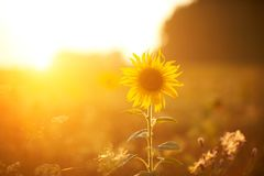 Bright sunflower in sunset light. Close-up and selective focus Royalty Free Stock Photos
