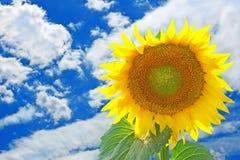 Bright sunflower taken against the blue sky. Stock Photos