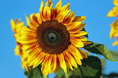 Bright Sunflower. A yellow and orange sunflower against a bright blue Fall sky Stock Photo