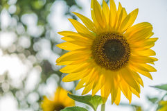 Bright sunflower Stock Photos