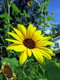 Bright Sunflower Stock Photography