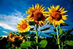 Bright sunflowers Royalty Free Stock Photos