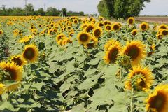 Bright sunflowers against the blue sky. Many bright yellow sunflowers with green leaves in the field stock image