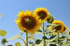 Bright sunflowers against the blue sky. Bright yellow sunflower with green leaves against the blue sky stock images