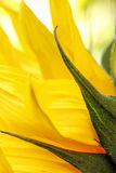 Bright sunflowers close up on a light background Stock Images
