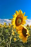 Sunflowers in the field. Bright sunflowers in the field under the bright sun in August royalty free stock photography