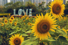 Bright sunflowers Stock Photography
