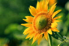 Bright sunflowers. Flower garden, plant maintenance, breathtaking, blooming sunflower, yellow petals, circular faceplate, bright beautiful Stock Photos