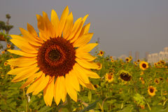 Bright sunflowers. Plant、flowers、sunflower、bright、natural、ecological Stock Images