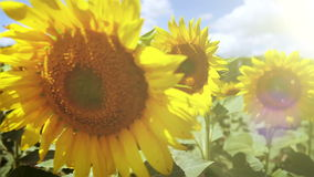 Bright sunflowers are swaying in the beatiful sunny day stock video footage