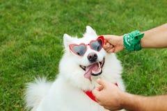 Owner of husky putting bright heart shape sunglasses on him. Bright sunglasses. Funny creative owner of white fluffy husky putting bright heart shape sunglasses stock photos