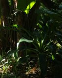 SUNLIGHT ON LEAVES OF TROPICAL PLANTS Stock Photo