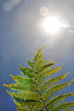 Bright sunlight into lense with fern. This accentuates the bright hot sun in a blue sky and a green fern with very slight edge burning, combing the concept of Stock Image