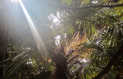 Bright sunlight passes through the foliage of a palm tree. Rays of light pass through the crown of a palm tree in the garden stock image