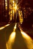 Bright sunlight shines through giant redwood trees Royalty Free Stock Photos