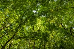 Bright sunlight shines through the green trees. Bright sunlight shines through the green forest trees Stock Photography