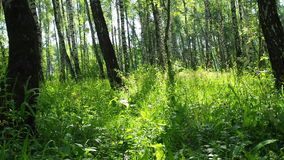 Bright sunlit summer birch forest with green grass - slider slow motion shot. Beautiful morning bright sunlit summer birch woods with green grass. Camera slowly stock footage