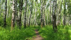 Bright sunlit summer birch forest with pathway - slider slow motion shot. Beautiful morning bright sunlit summer birch woods with pathway - slider slow motion stock video