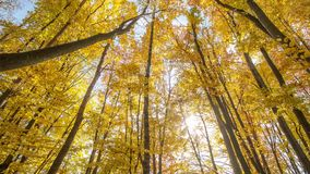 Bright sunny autumn forest stock video