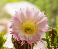 Bright and sunny cactus flower Royalty Free Stock Photos