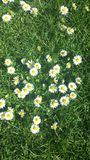 Bright sunny daisies on a bed of lush green grass royalty free stock photos