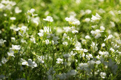 Bright sunny white flowers Royalty Free Stock Images