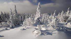 Bright sunny winter evergreen forest. At Urals, Russia Stock Images