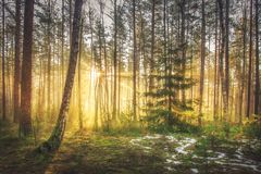 Free Bright Sunrise And Sunshine In Picturesque Spring Forest In Morning. Sun Rays Through Trees Of Forest. Scenic Natural Landscape Stock Photo - 114333010