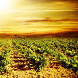 Bright sunset at vineyard Stock Images