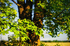 Bright Sunshine. Green foliage illuminated by the bright light of the sun Stock Images