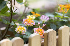 On bright sunshine and orange and red flowers on the edge of a wooden fence with brown color. Royalty Free Stock Photography