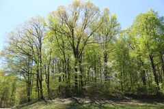 Bright Sunshine Streaming Through Spring Leaves. Bright sunshine streams through the branches of newly green trees on an early spring afternoon in rural Kentucky stock photography