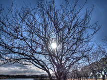 Bright sunshine though cherry blossom trees Stock Photo