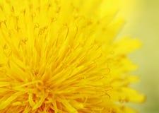 Bright sunshine yellow dandelion flower is fragrant nectar close Stock Image