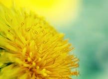 Sunshine yellow dandelion flower is fragrant nectar closeup. Bright sunshine yellow dandelion flower is fragrant nectar closeup Stock Images