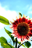 Bright Sunshiny Day!. Huge sunflower facing the day Royalty Free Stock Photos