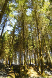 Bright and tall forest Royalty Free Stock Photo