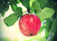 Bright tasty apple. Branch with bright tasty apple Royalty Free Stock Images