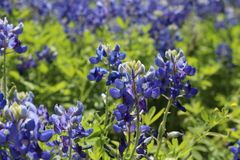 Bright Texas Bluebonnets stock photography