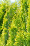 Bright Thuja Peek Closeup Royalty Free Stock Image
