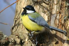 A bright tit sits on a thin branch of a thick tree in a park and looks at the photographer. stock photo